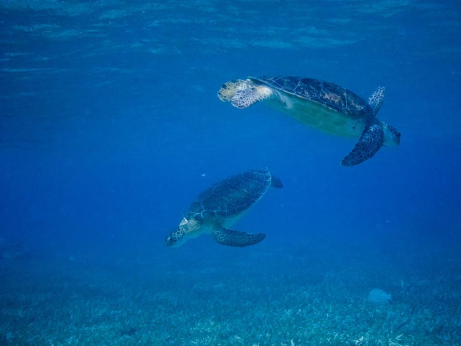 turtles Belize 3-18-2011