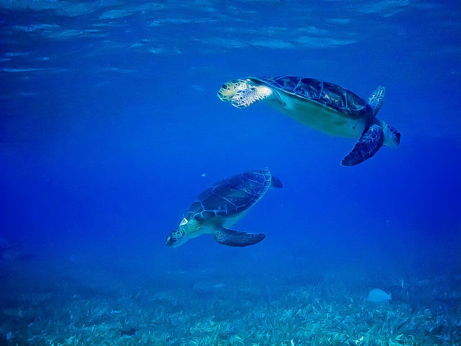 Belize turtles