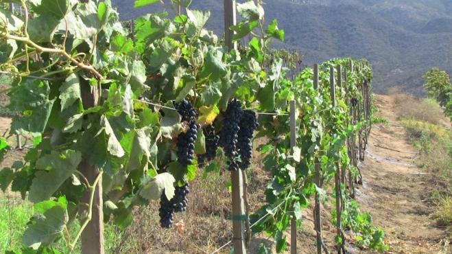 Grape vines ripening near Ensenada