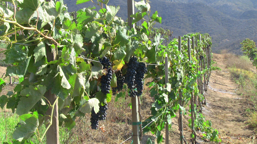 Grape vines ripening near Ensenada