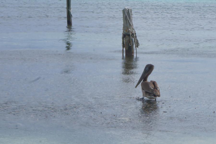 Belize pelican in the rain