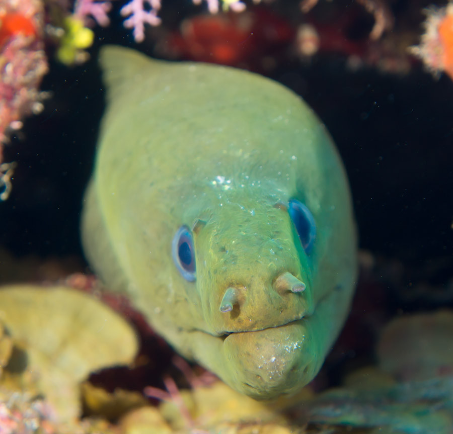 Moray eel calmly posing for me