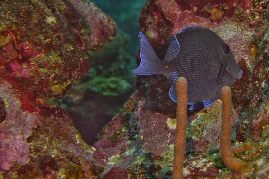 Blue Tang on Belize reef