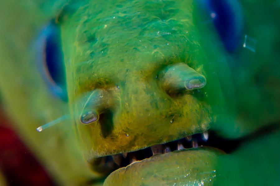 Moray Eel close up - Belize