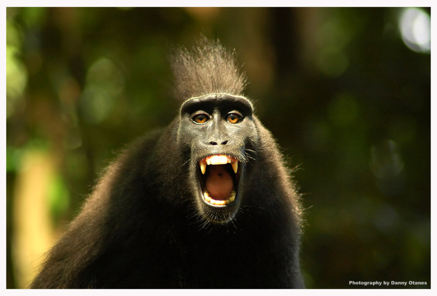 Photo credit Angry Monkey by Danny O via Flickr commons