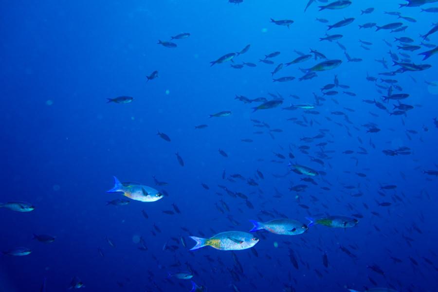 Schooling fish, Grand Cayman