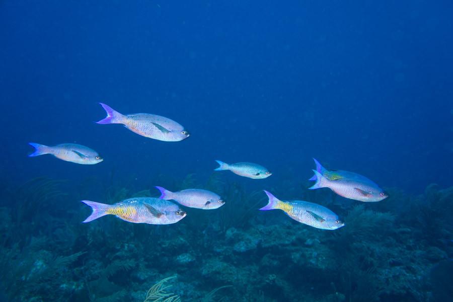 Parrotfish off Belize reef