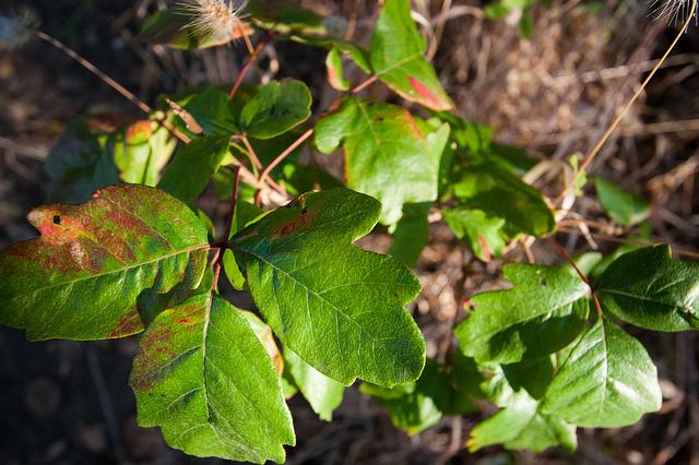 Poison Oak - Photo credit: Kanaka Menehune via Flickr