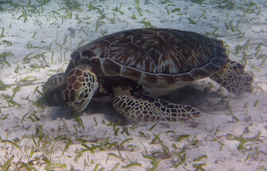 Turtle grazing on bottom