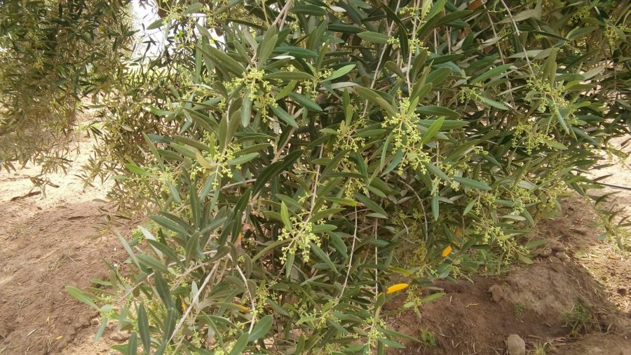 Olive Tree with chemical fertilizer after 3 months using Fish Fertilizer