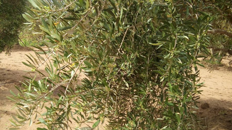Olive tree after 3 months chemical fertilizer application