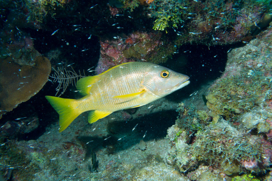 Schoolmaster Snapper, Grand Cayman