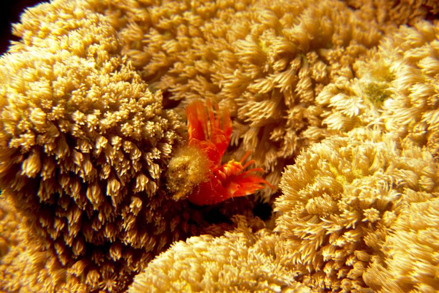 Crab hiding in coral
