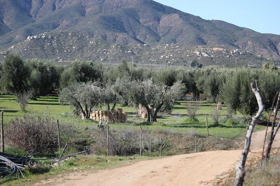 Seagate olive trees