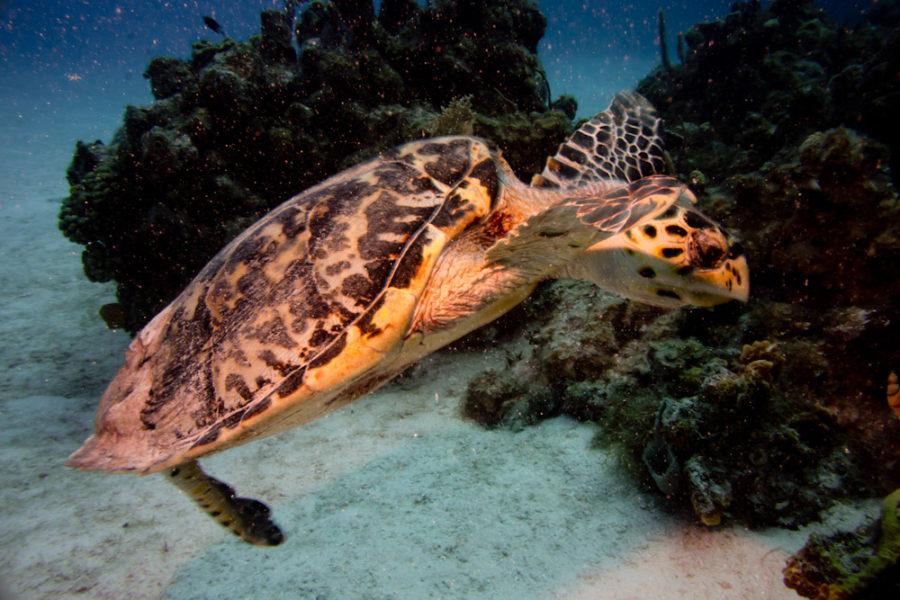 Juvenile turtle along a Cayman Island reef feeding on sponges