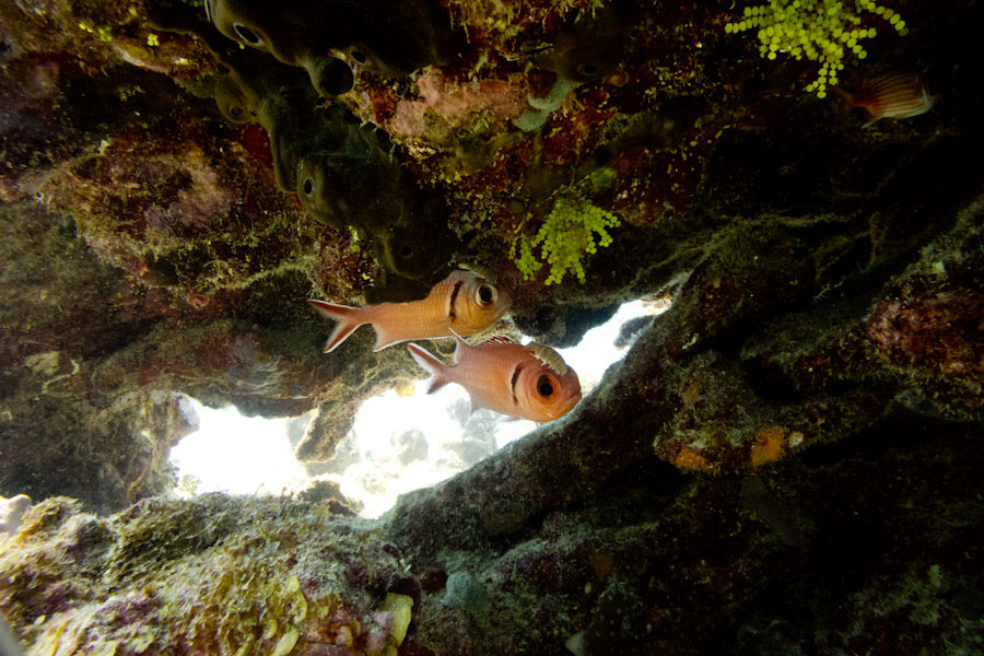 Blackbar Soldierfish, Caymans