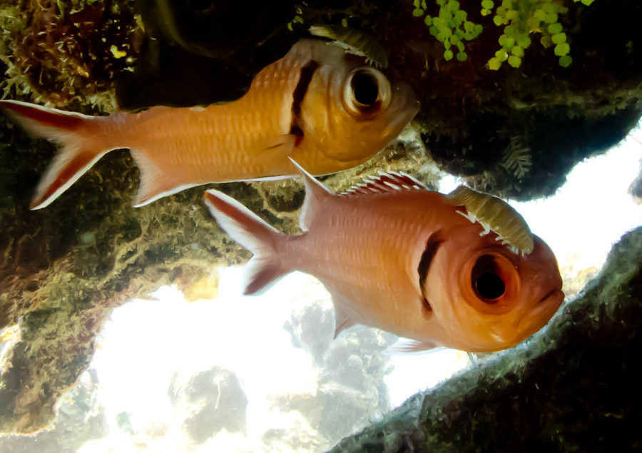 Crab hitching a ride on the Soldierfish