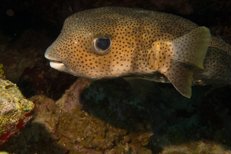Spotted Trunkfish, Grand Cayman