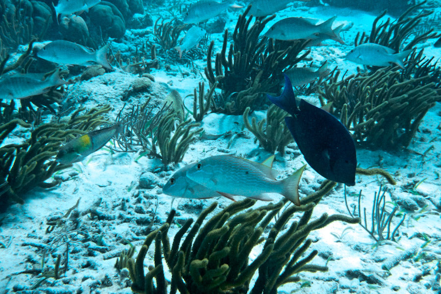 Blue tang and other fish along a healthy tropical reef