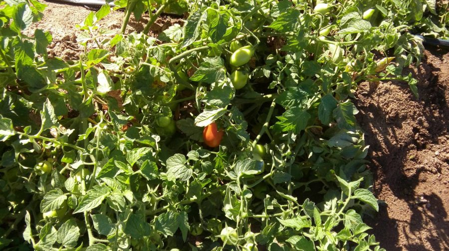 tomatoes ripening in early October