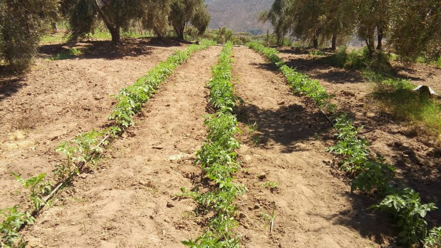 Tomatoes planted in between olive trees