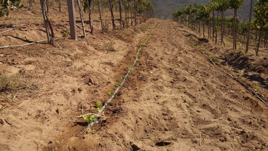 Tomato plants placed in between grape rows