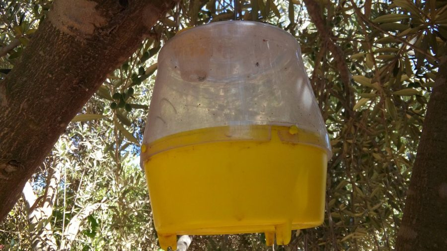 Seagate's fly traps hanging in olive trees