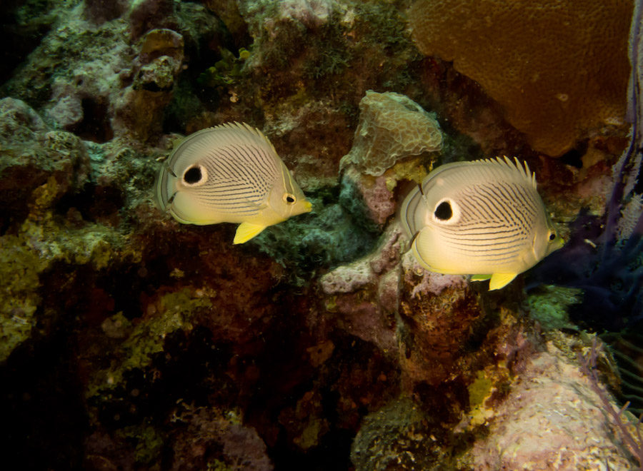 A pair of Four-Eyed Butterfly Fish