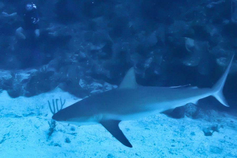 Belize grey reef shark