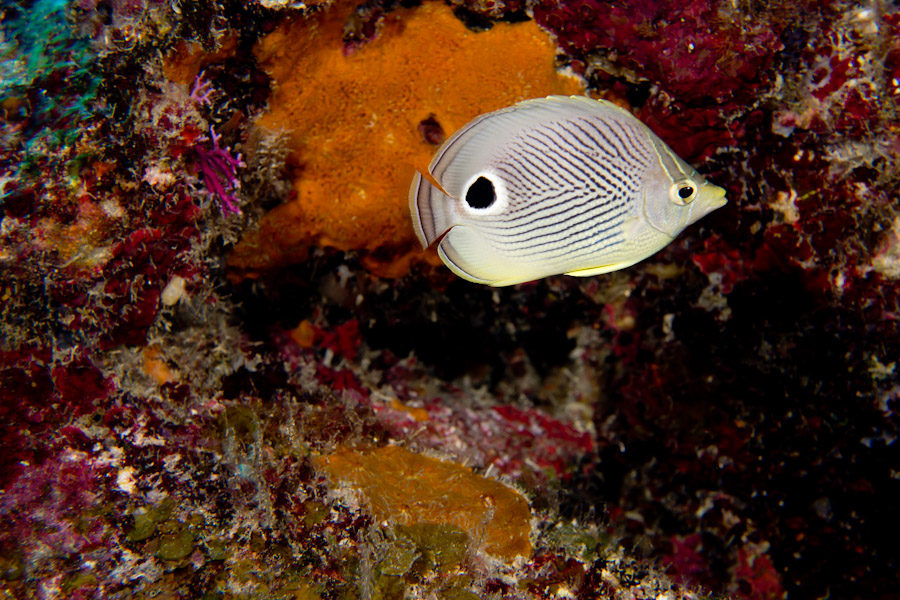 Four-Eye Butterfly Fish