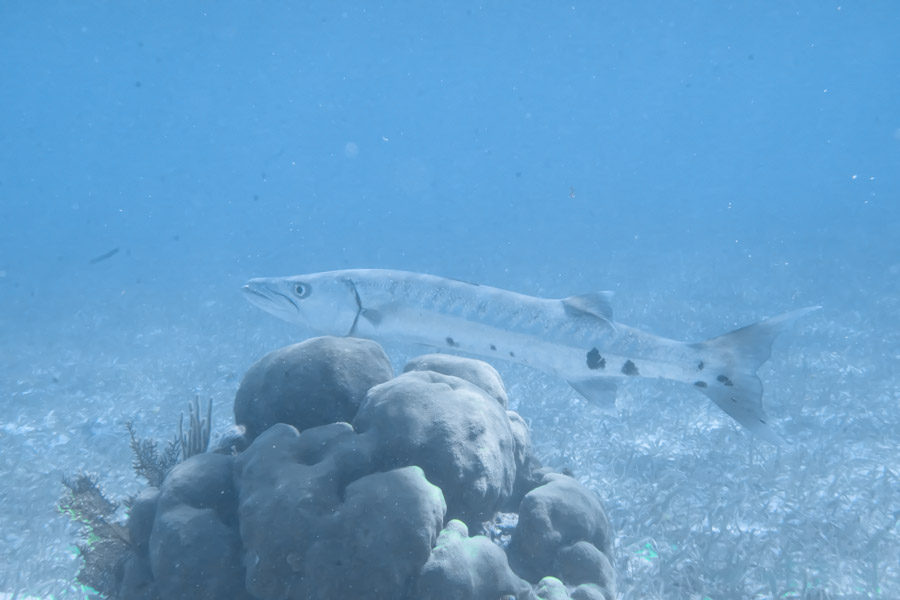 Juvenile barracuda (only ~3 feet)