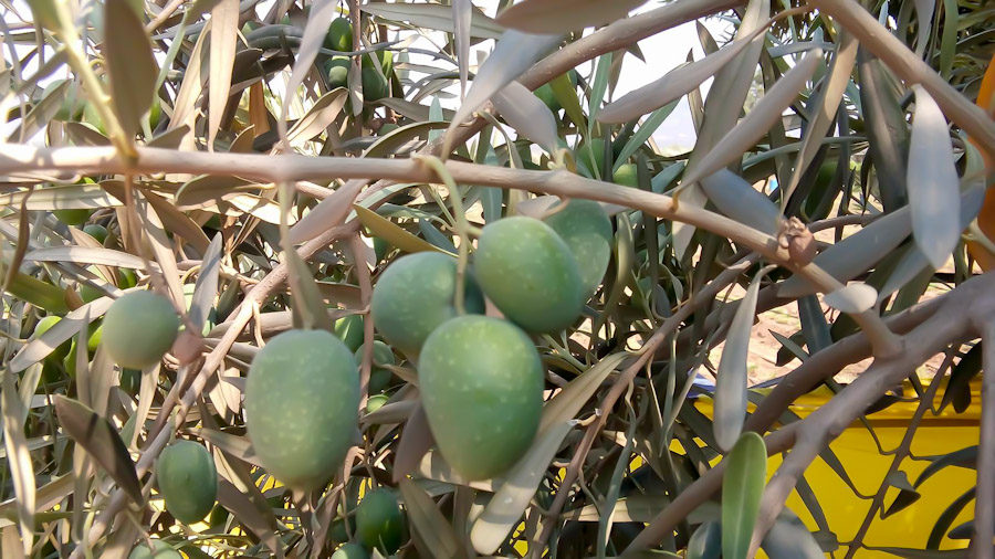 Seagate's New Olive Crop 2016