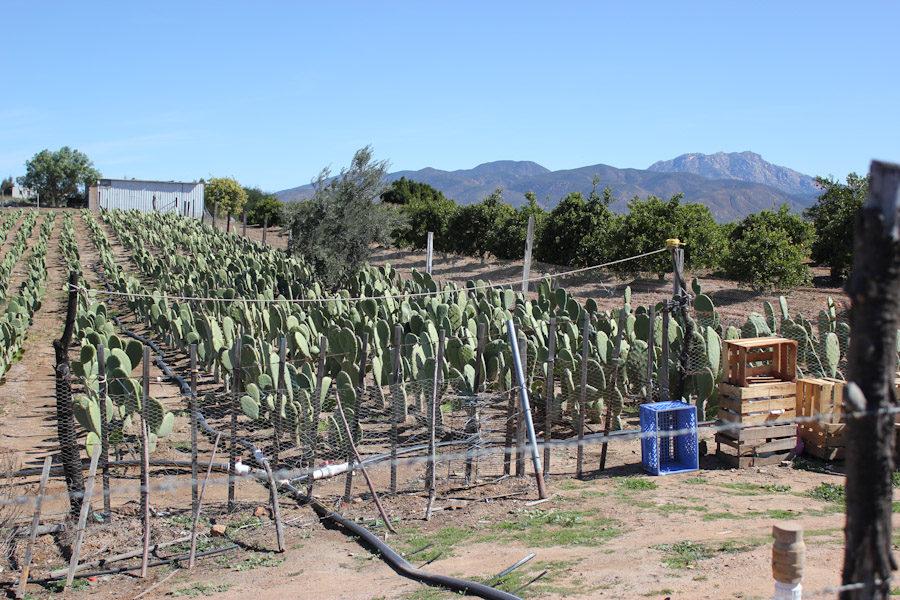 Nopal cactus farm