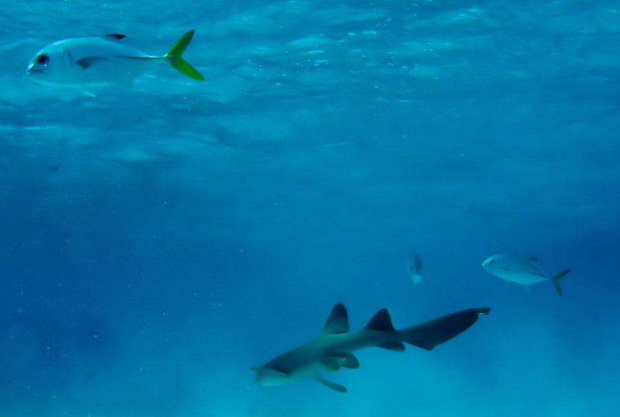 Shallow thresher shark