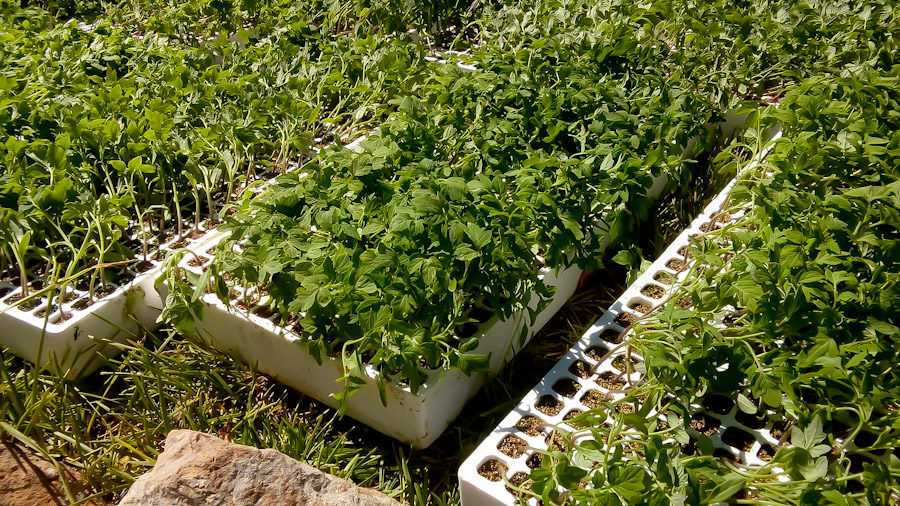 Tomato plants at 4 to 6 inches