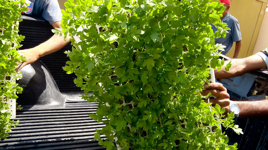Tomato plants being loaded onto truck to be transported to the field