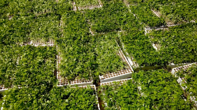 Tomato seedlings growing in trays