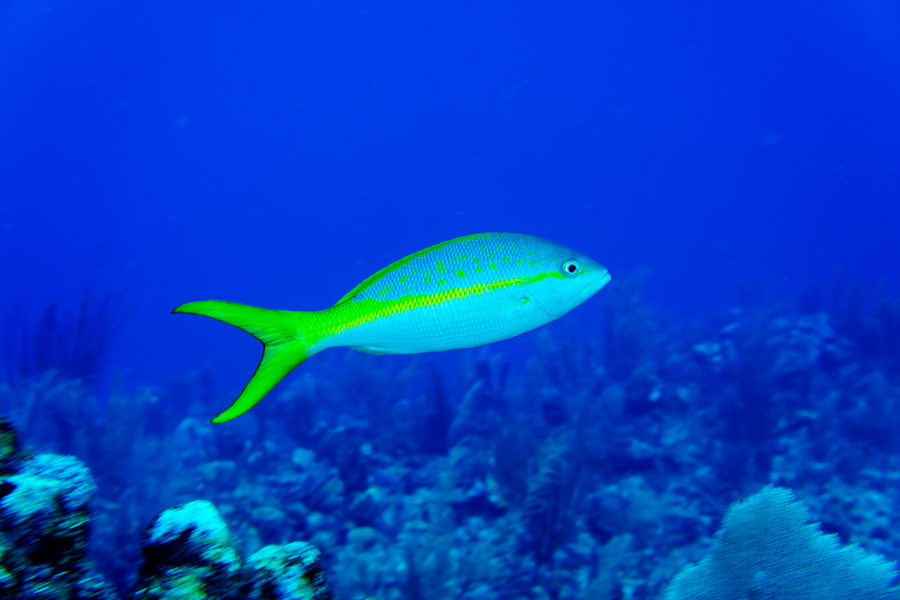 Yellowtail snapper near Belize reef