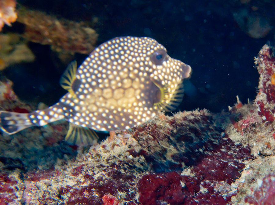 Scrawled Cowfish along a Belize reef