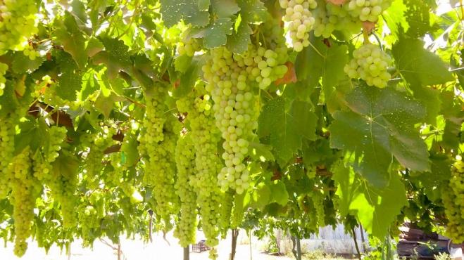 Seagate new grape crop 8-2016