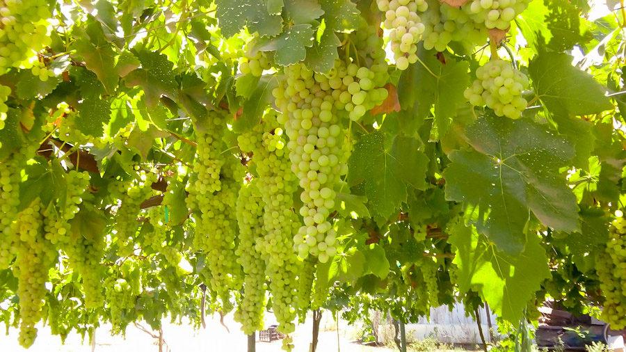 New Seagate Grape Crop