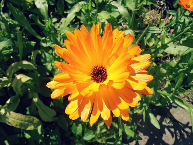 What is Calendula, and How Is It Used in Natural Health Remedies?