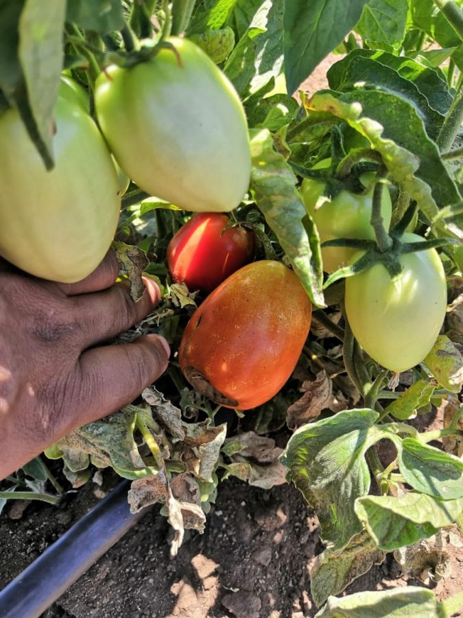 How to Grow Tomatoes in Your Own Home and Garden