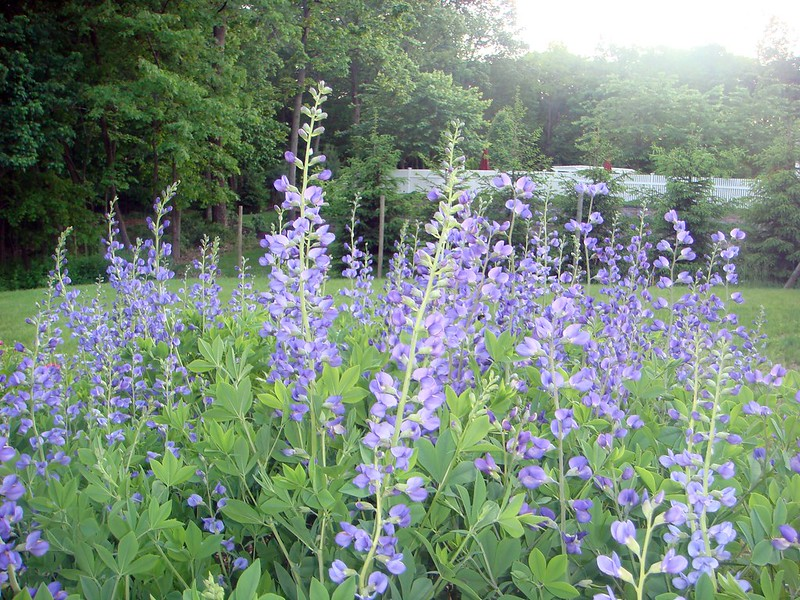 What is Baptisia and How It's Used in Natural Homeopathic Remedies