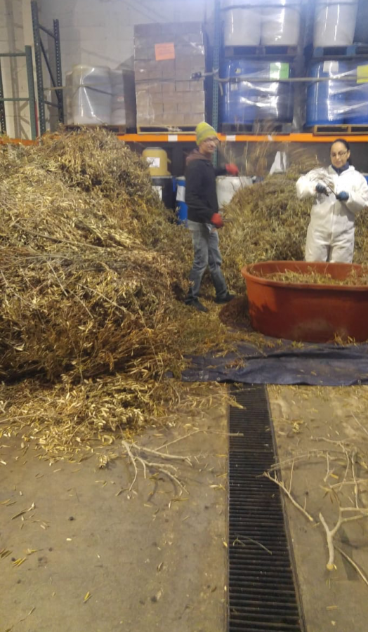 Seagate Olive Leaf Production continues as normal