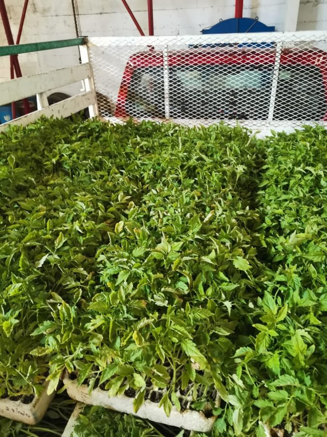 Spring transplant of tomato plants