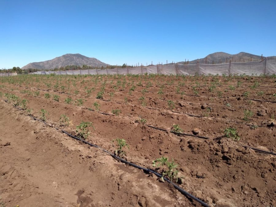 New tomato planting – June 2020