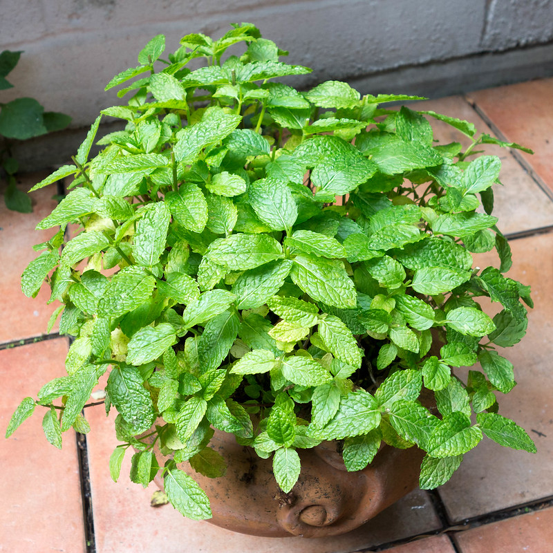 How to Grow a Mint Plant at Home and Use It in the Kitchen