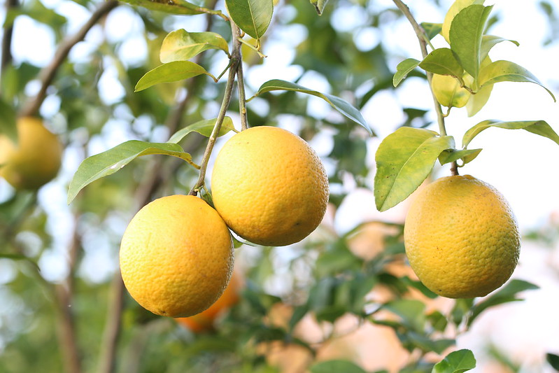 How to Grow Your Own Lemons in a Yard or Garden